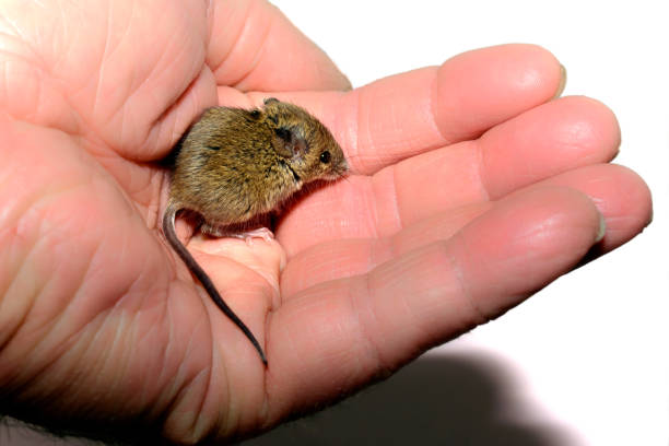house mouse (mus musculus) held in a hand on white background - introduced species stock pictures, royalty-free photos & images