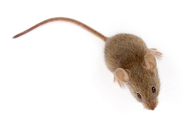House mouse looking up (Mus musculus) stock photo