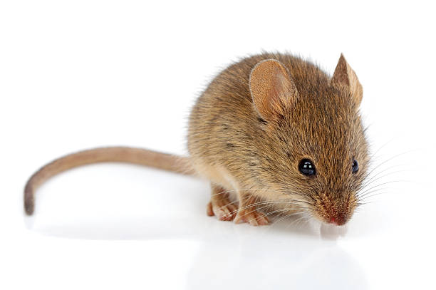 House mouse (Mus musculus) stock photo