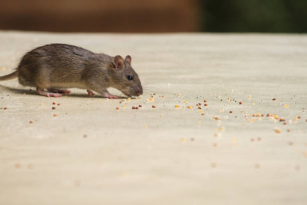 House mouse Souris grise (Mus musculus) rodent stock pictures, royalty-free photos & images