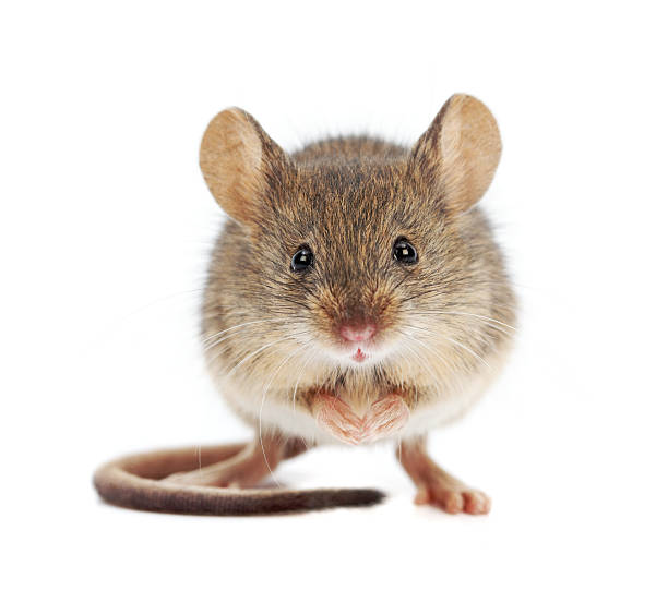 House mouse standing (Mus musculus) stock photo