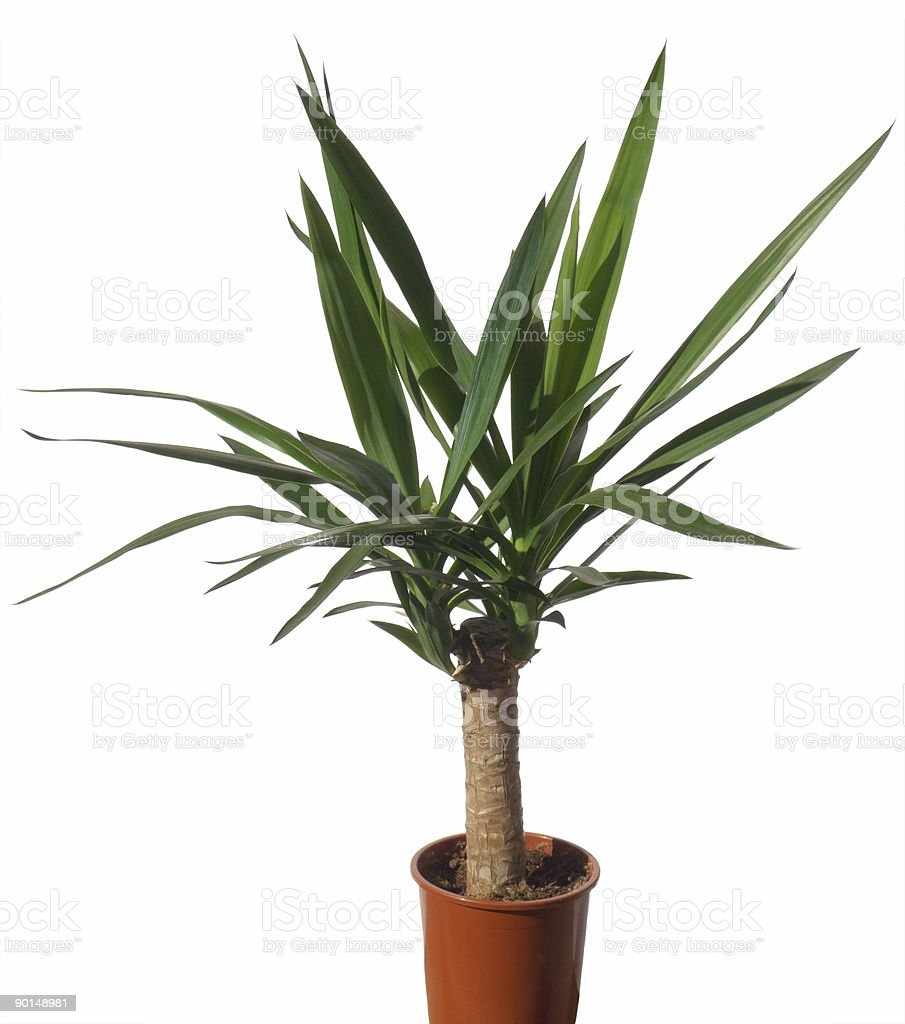 House palm (yucca) royalty-free stock photo