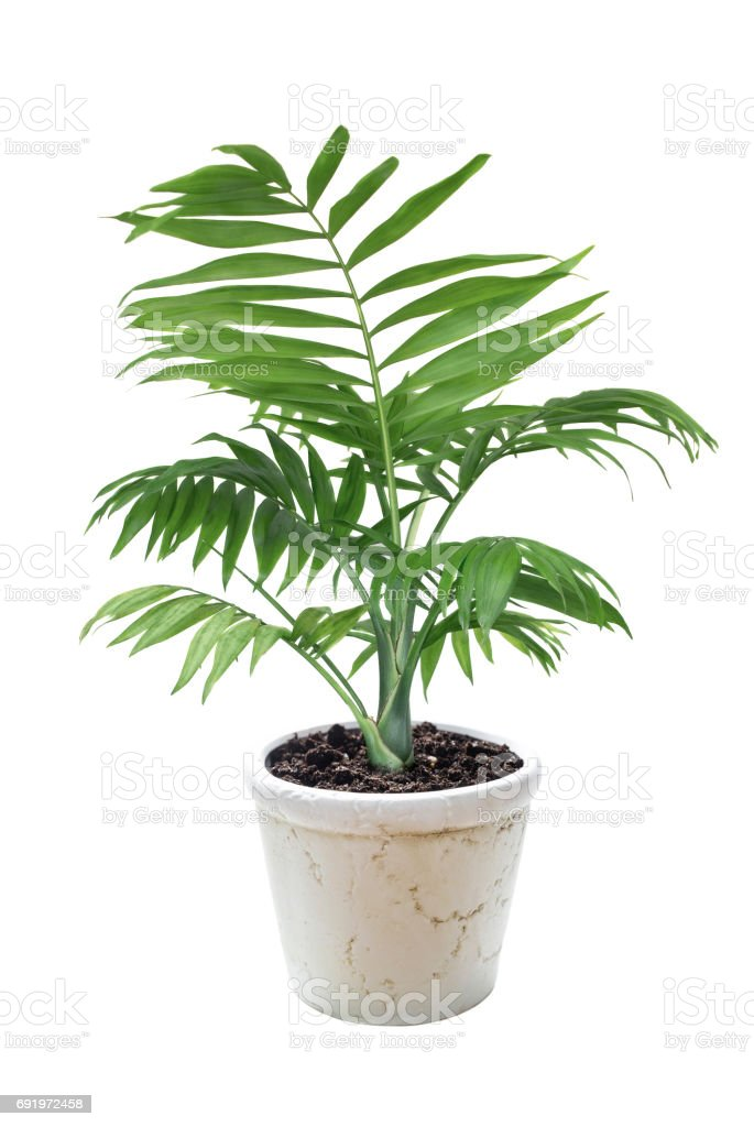 House plant Chamaedorea in a flower pot royalty-free stock photo