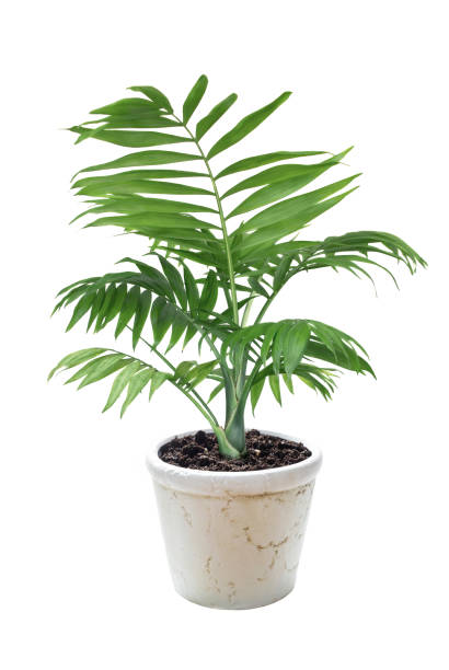 House plant Chamaedorea in a flower pot stock photo