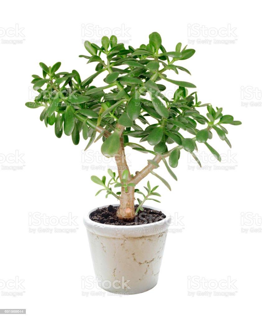 House plant Crassula on a white stock photo