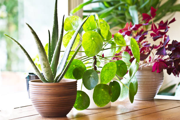 House plant display beside window. Indoor plants display Various lushy house plants  in morning light houseplant stock pictures, royalty-free photos & images