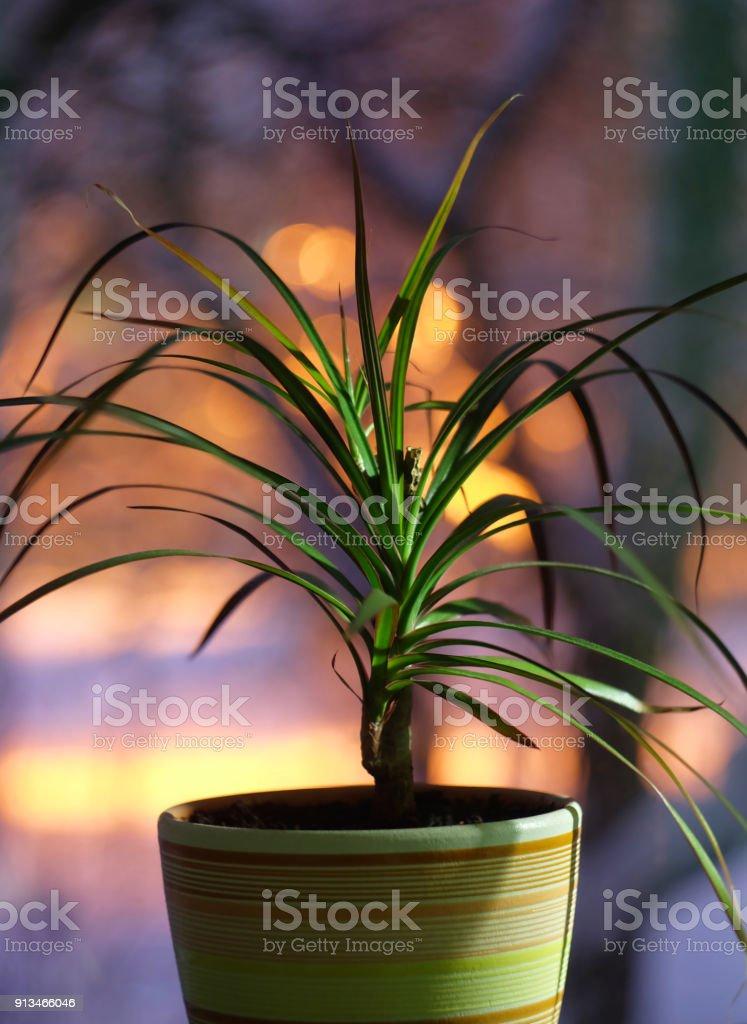 House plant dracene on the window stock photo