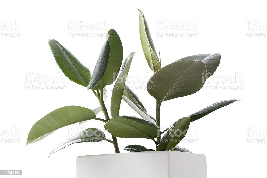 Planta interna de figueira - foto de acervo
