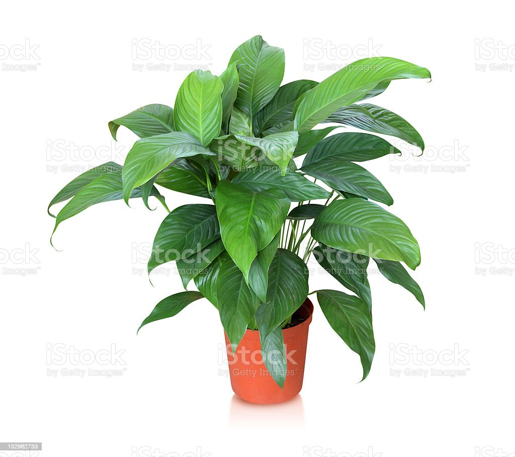 House plant (Peace lily) isolated on white stock photo