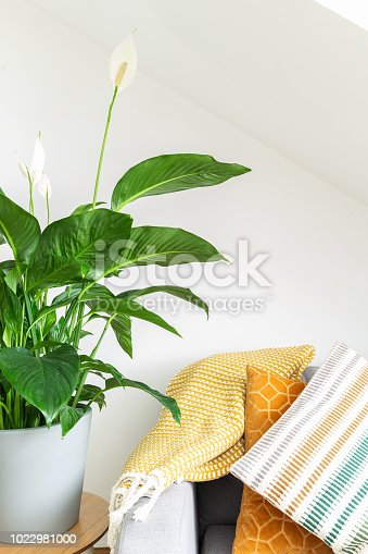 Big Peace Lily next to cushions and grey couch