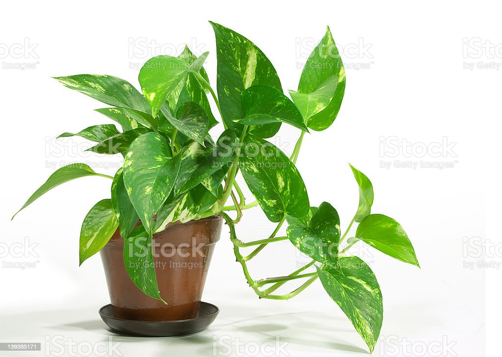 House Plant - Pothos stock photo