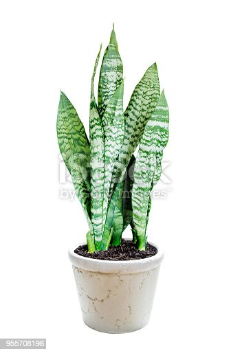 House plant Sansevieria in ceramic flowerpot isolated on a white background