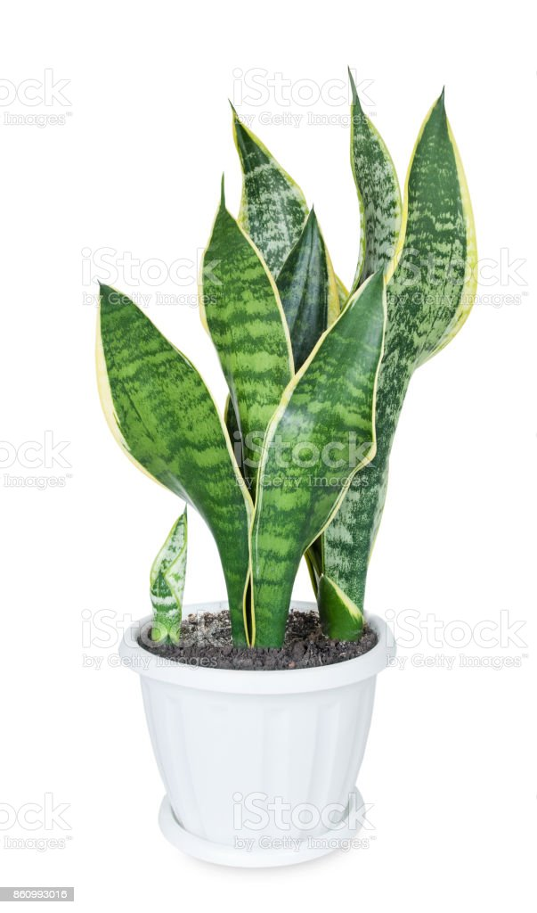 House plant Sansevieria stock photo