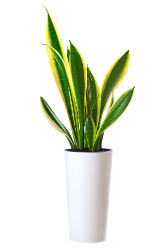 House plant Sansevieria trifasciata (snake tongue) in white high pot isolated on white background