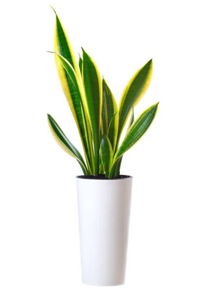 planta da casa sansevieria trifasciata (língua de cobra) - alto descrição geral - fotografias e filmes do acervo