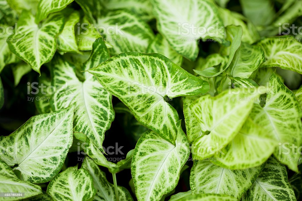 house plant 'Syngonium podophyllum Emerald Gem' stock photo