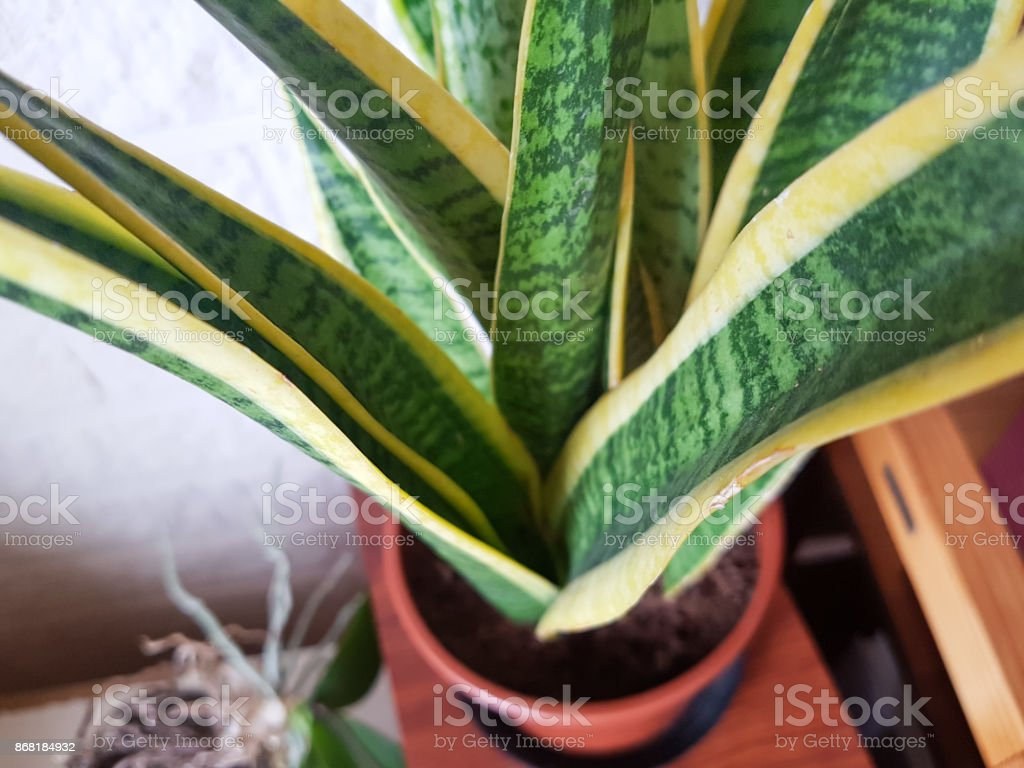 House Plant With Greenyellow Leaves Stock Photo & More Pictures of on yellow and green interior design, yellow and green evergreen, yellow and green tree, yellow and green tomatoes, yellow and green garden, yellow and green vine, yellow and green food, yellow and green grass, yellow and green herbs, yellow and green perennial, yellow and green hedge,