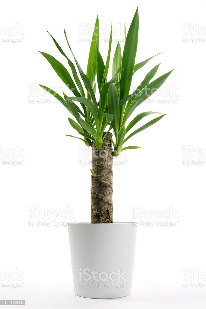 Haus Pflanze-Yucca – Foto