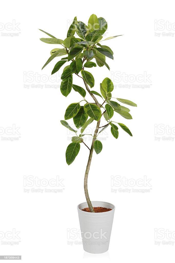 House PlantーFicus altissima Variegata stock photo