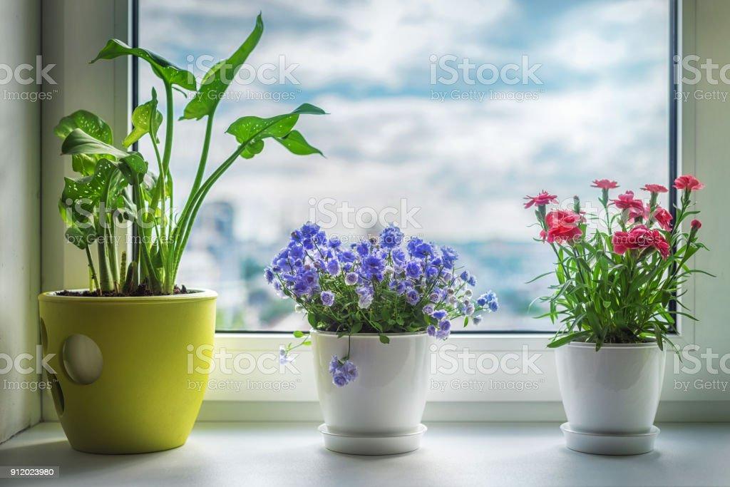 House plants on window. Carnation, blue flower and kala. stock photo