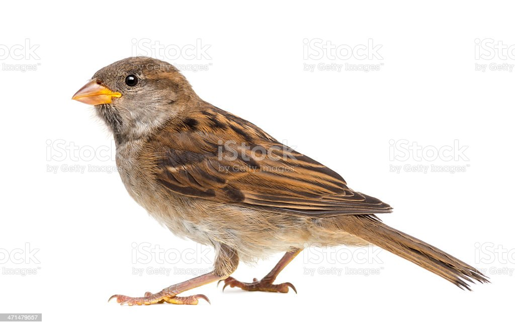 House Sparrow against white background stock photo