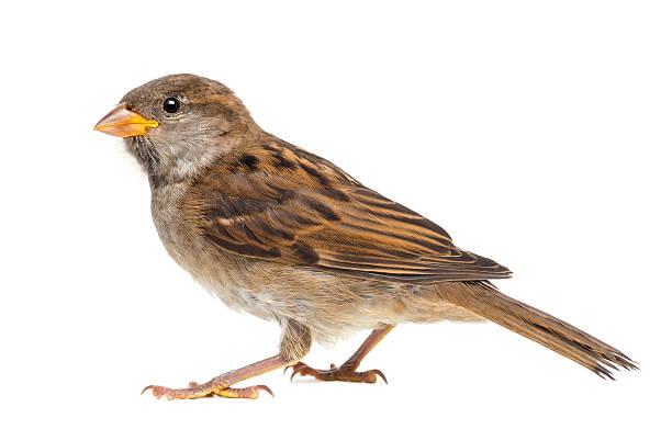 House Sparrow vor weißem Hintergrund – Foto
