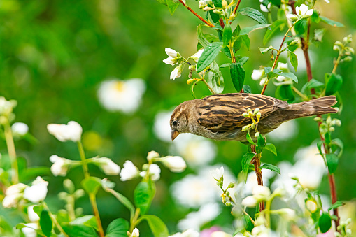 A female house sparrow in a group of wildflowers in an English country garden.
