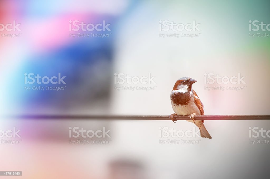 House sparrow bird perched on wire cable outdoor stock photo