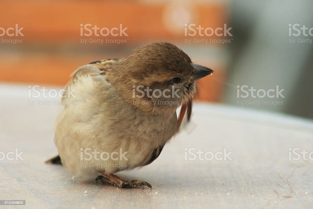 House Sparrow cleaning on a table stock photo