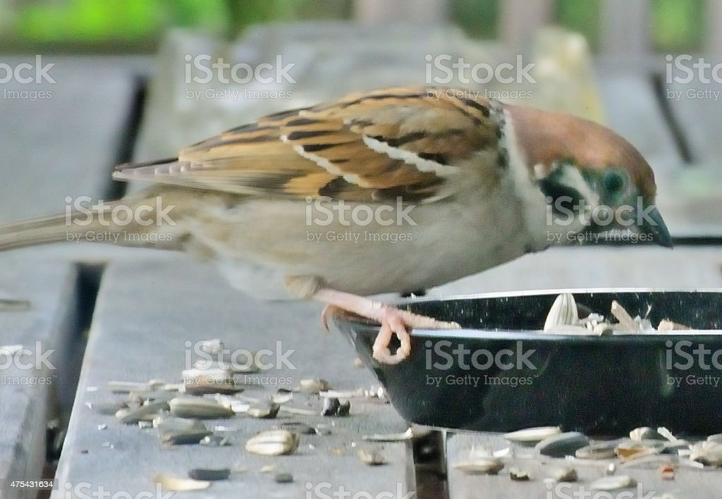 House Sparrow eating seeds (Sperrling, Spatz) stock photo