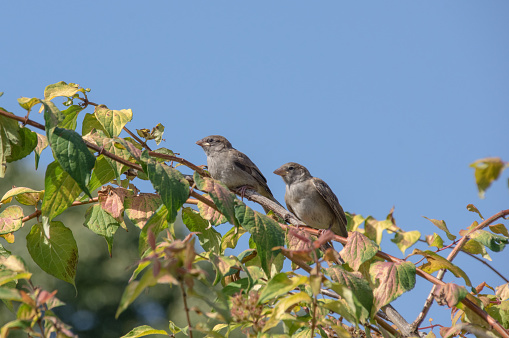 House sparrows on top of a garden bush take care for here young