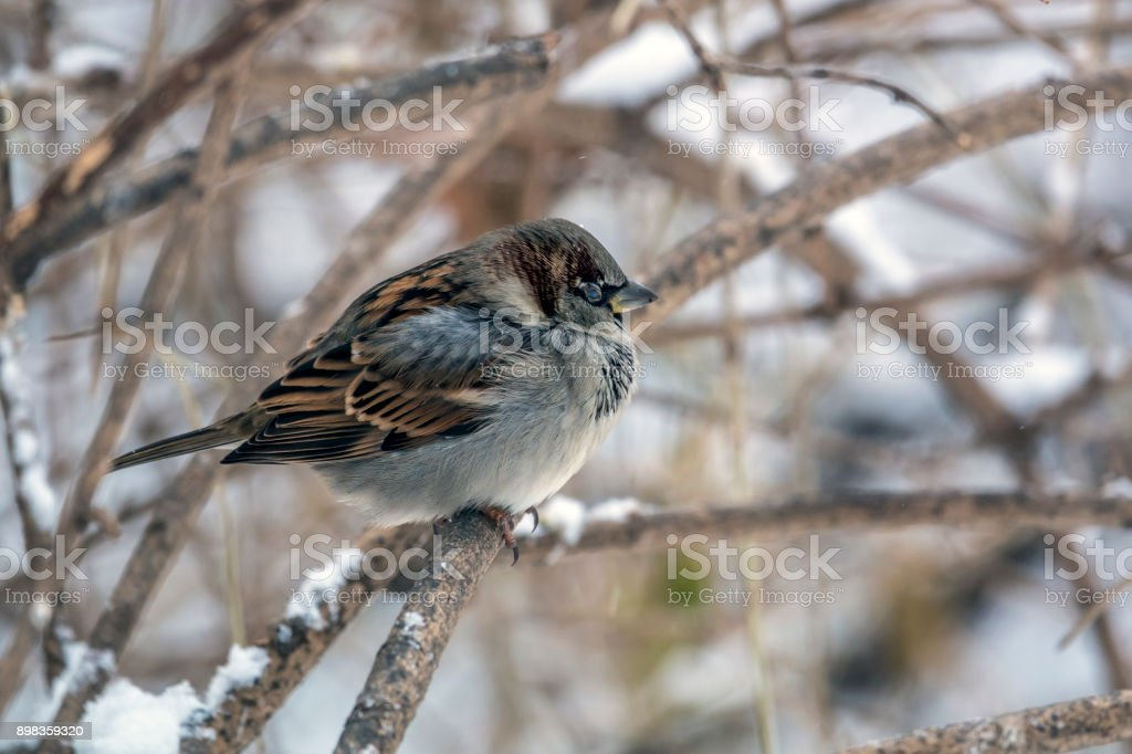 house sparrow in winter stock photo