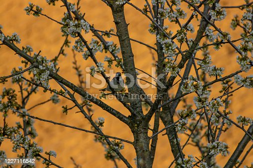521620252 istock photo House sparrow mating on blossoming tree 1227116542