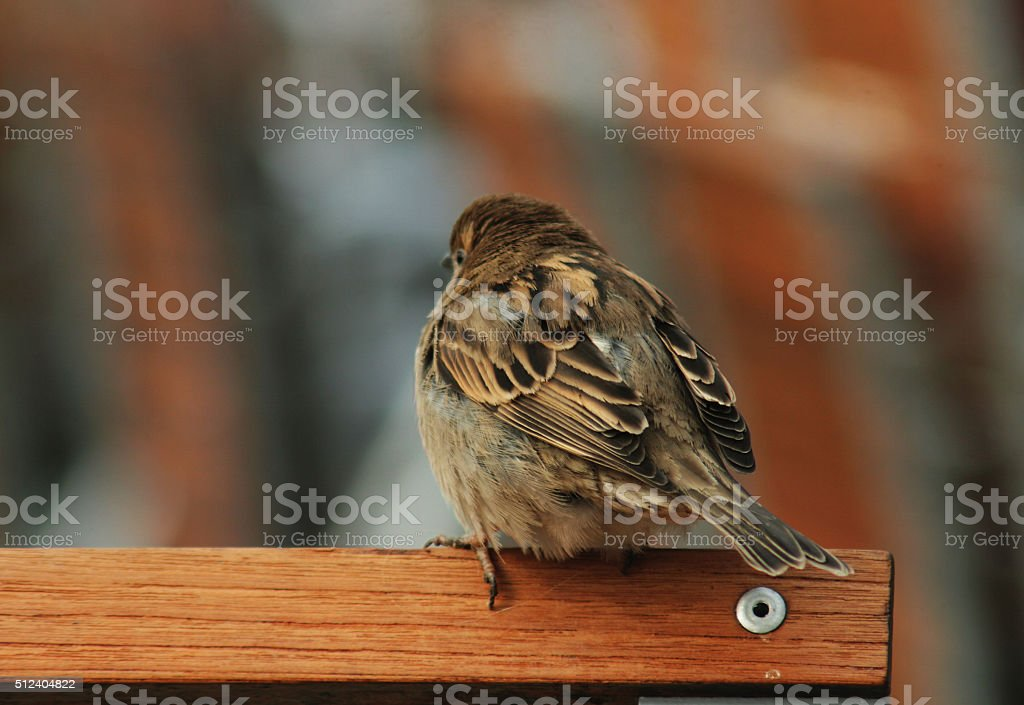 House Sparrow on a chair stock photo