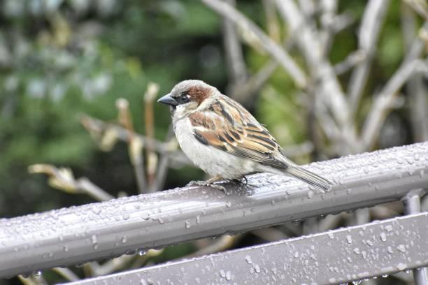 House Sparrow on a Wet Park Bench stock photo