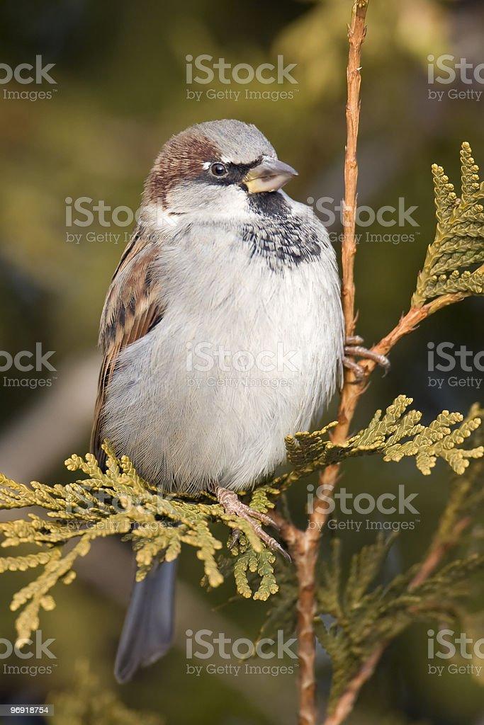 House Sparrow on Cedar royalty-free stock photo