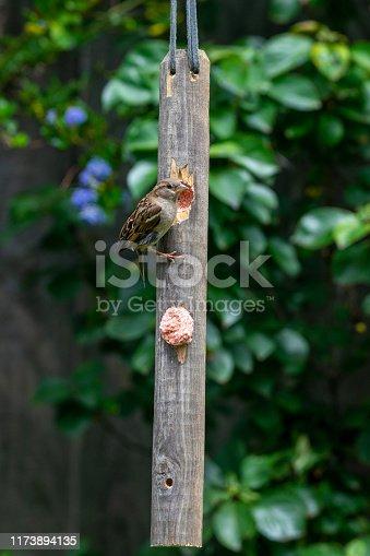 House sparrow (Passer domesticus) on home made garden suet bird feeder