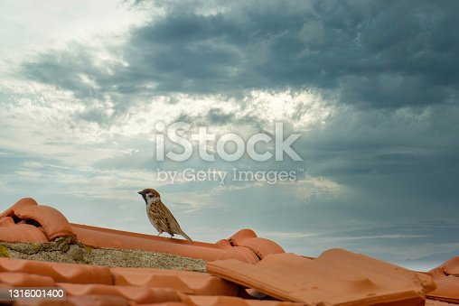 istock house sparrow on top a red roof 1316001400