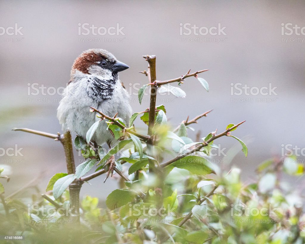 House Sparrow on Twig stock photo