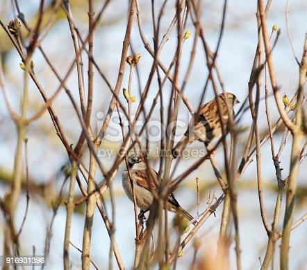 521620252 istock photo House Sparrow (Passer domesticus) Pair 916931396
