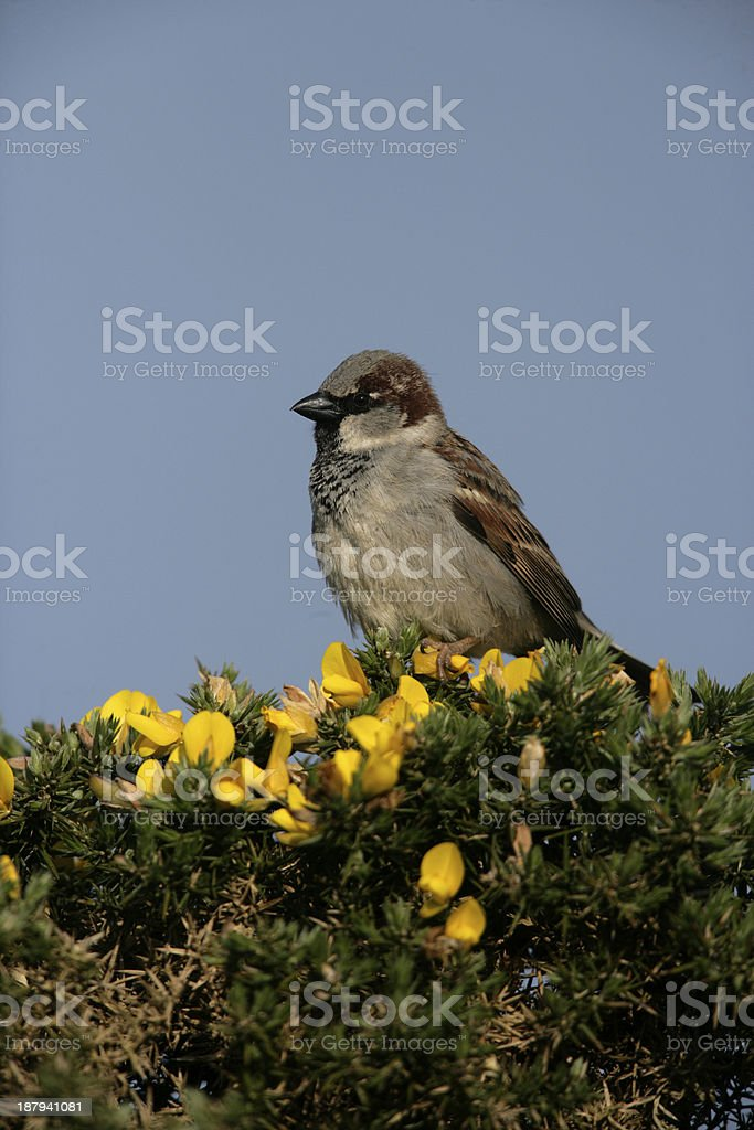 House sparrow, Passer domesticus royalty-free stock photo