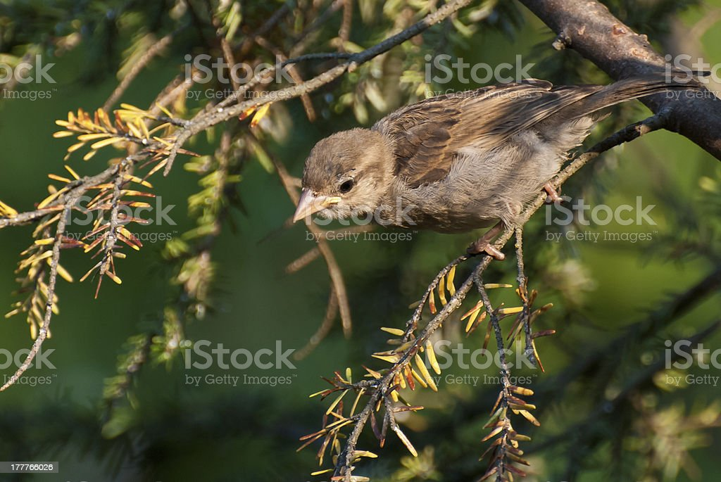 House Sparrow Perched in Tree royalty-free stock photo