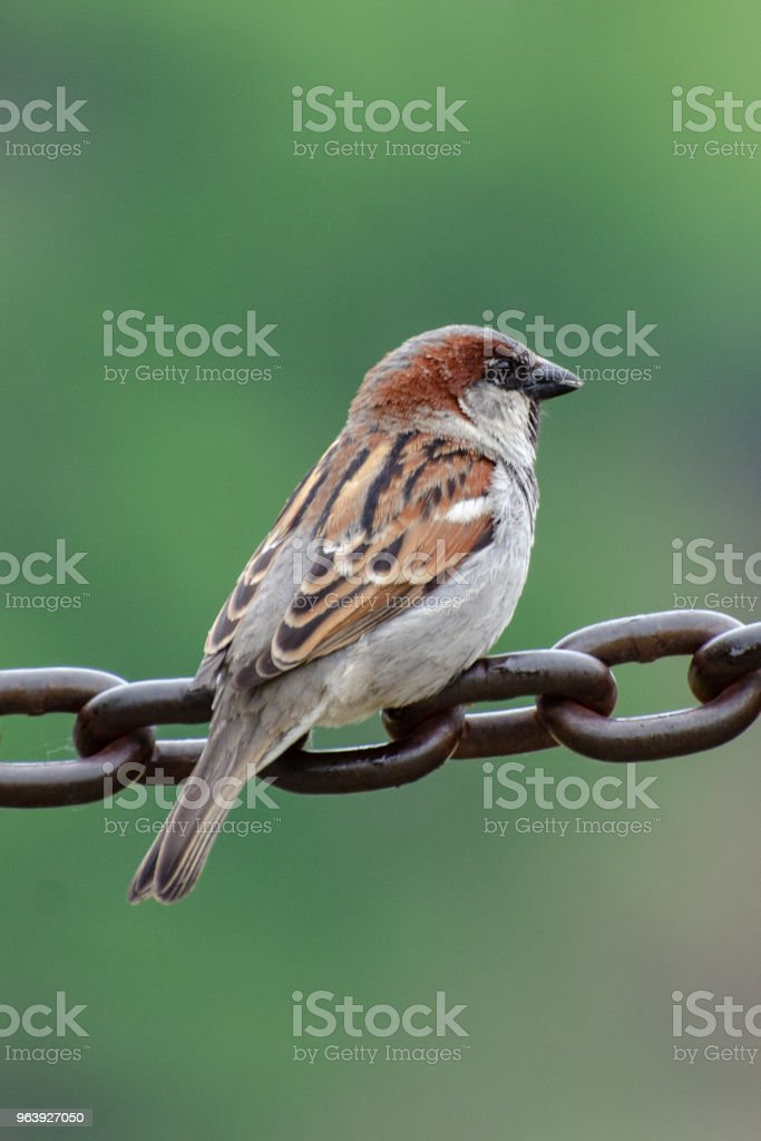 House Sparrow Perched on a Chain - Royalty-free Animal Stock Photo