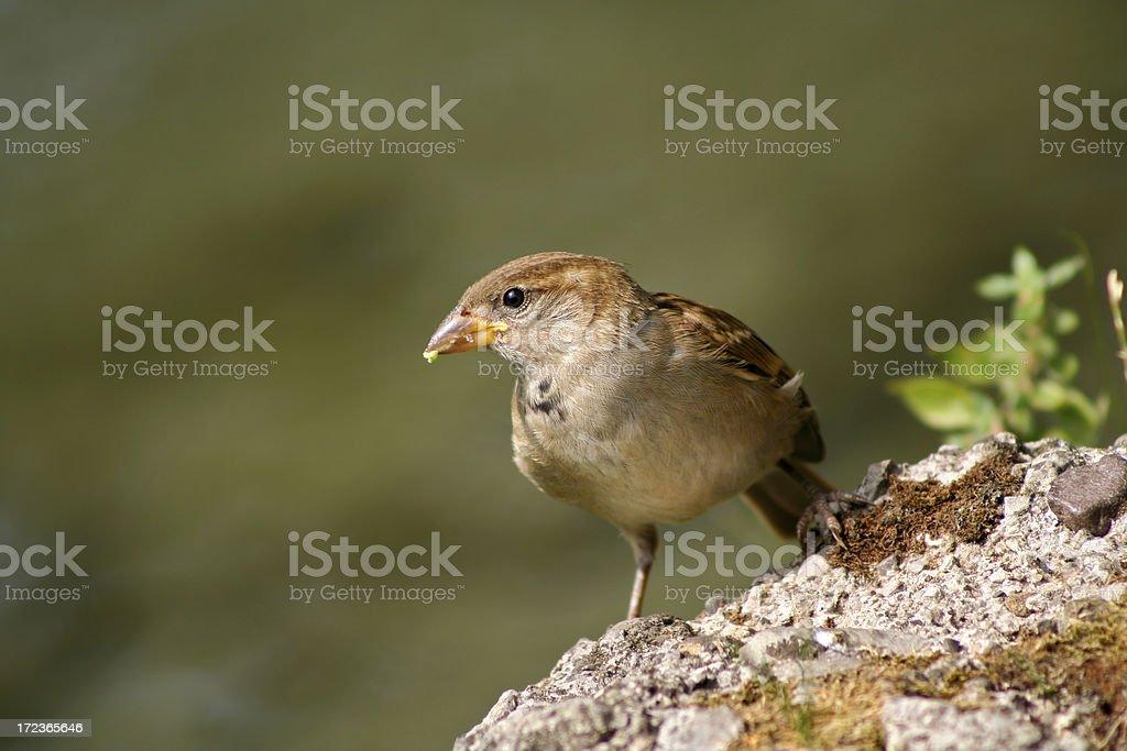 House sparrow royalty-free stock photo