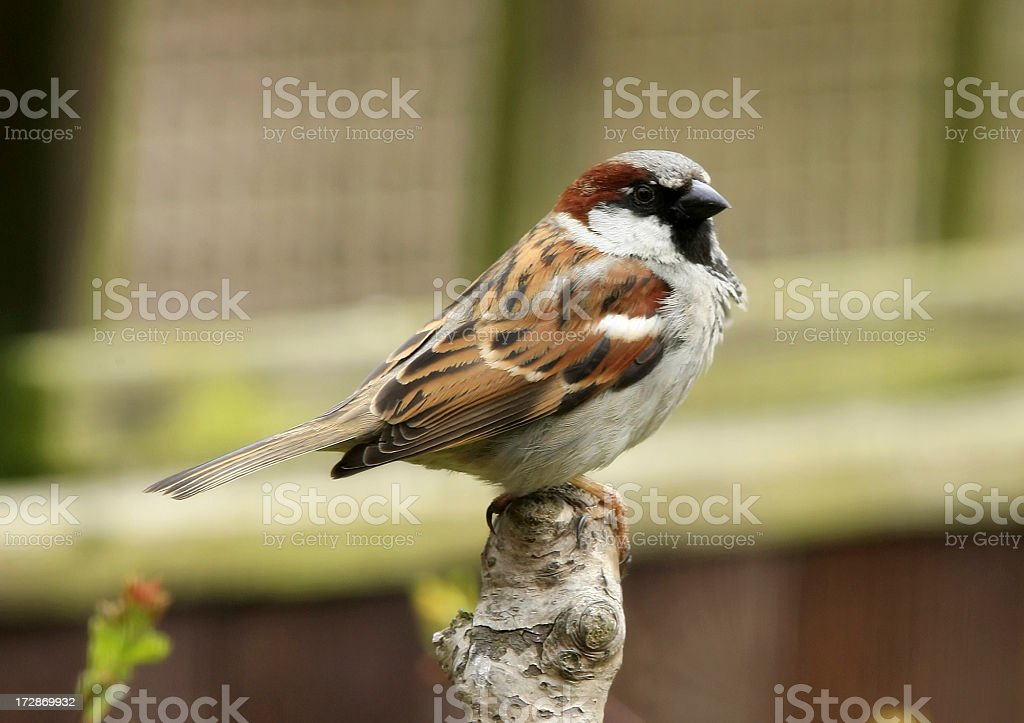 House Sparrow (Passer domesticus) royalty-free stock photo