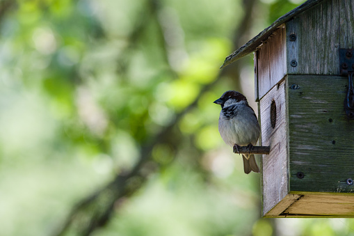Close-up of a male House Sparrow perched on a nesting box.