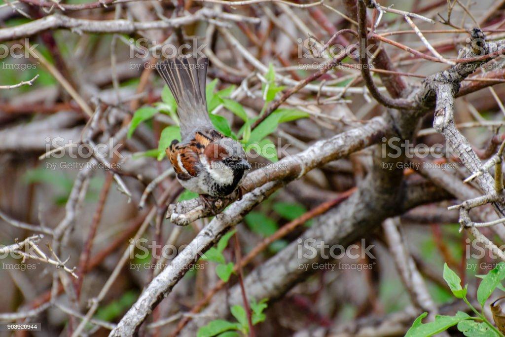 House Sparrow - Royalty-free Animal Stock Photo