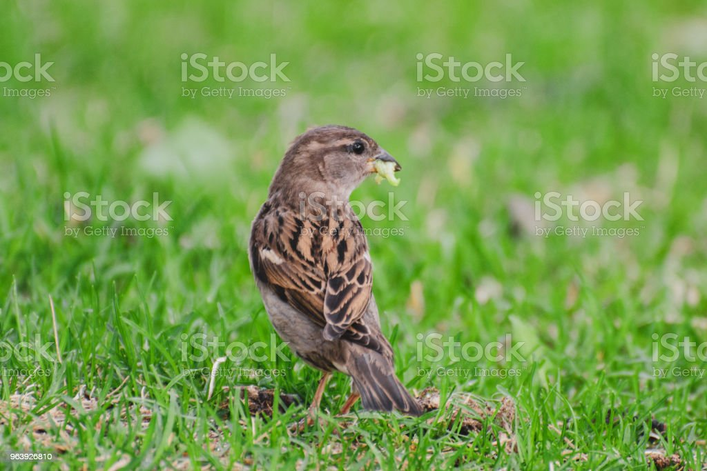 House Sparrow with an insect in its mouth - Royalty-free Animal Stock Photo