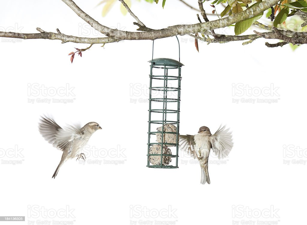 House Sparrows feeding from a birdfeeder on a white background royalty-free stock photo