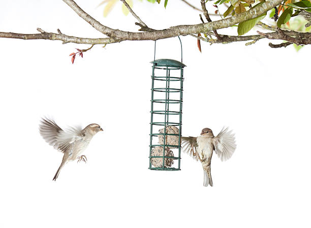 House Sparrows feeding from a birdfeeder on a white background stock photo